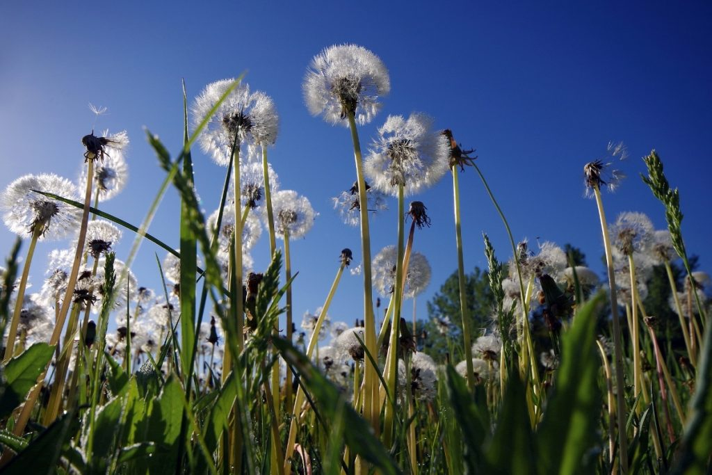 How to Kill Dandelions