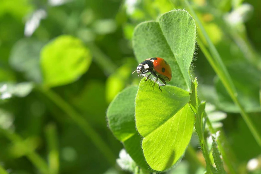 many beneficial insects are attracted to clover